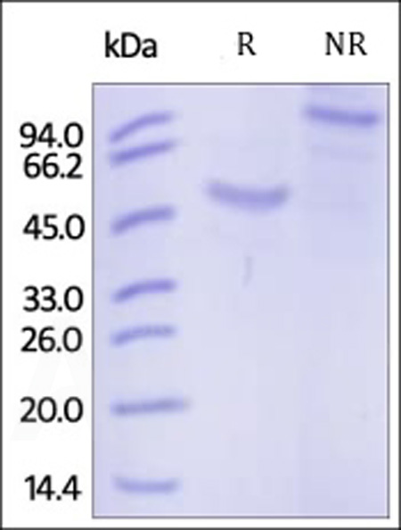Human IL-20 R beta, Fc Tag (Cat. No. ILB-H5258) SDS-PAGE gel