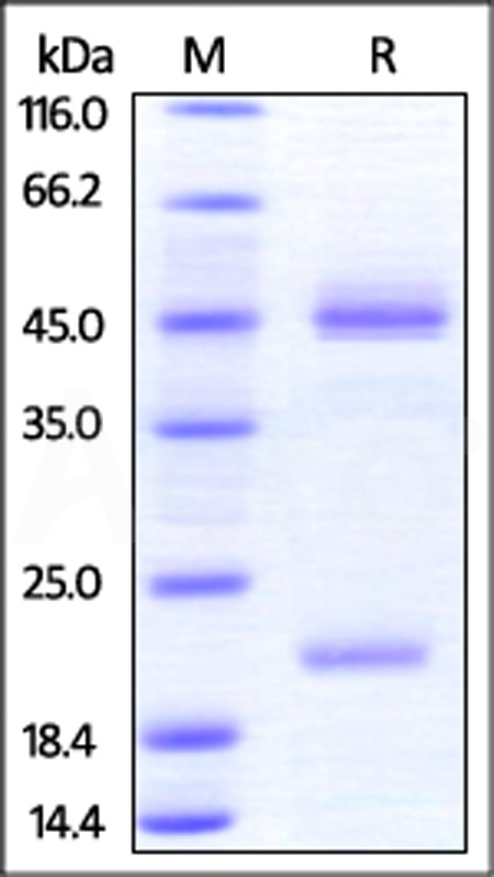 Human IL-23A & Mouse IL-12B Heterodimer Protein, His Tag&Tag Free (Cat. No. ILB-HM52W6) SDS-PAGE gel