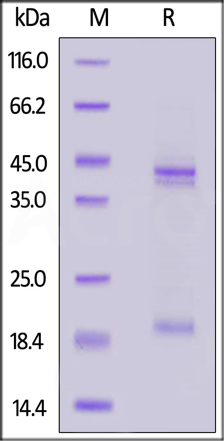 Mouse IL-23 alpha & IL-12 beta Heterodimer Protein (Cat. No. ILB-M52W7) SDS-PAGE gel