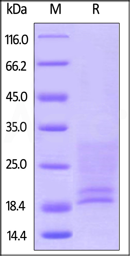 Human IL-17A&IL-17F Heterodimer Protein, His Tag&Strep II Tag (Cat. No. ILF-H52WF) SDS-PAGE gel