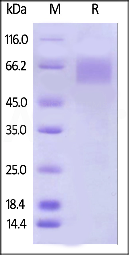Biotinylated Human IL-17 RA, His Tag (Cat. No. ILR-H82E5) SDS-PAGE gel