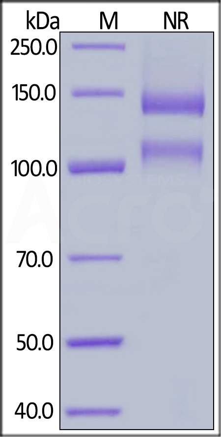 Biotinylated Human ITGAV & ITGB1 Heterodimer Protein (Cat. No. IT1-H82W6) SDS-PAGE gel