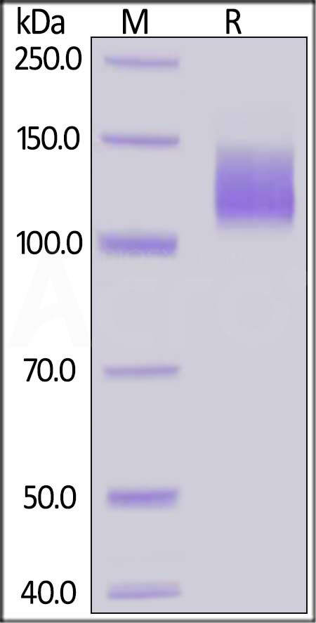 Human VEGF R2, His Tag (HPLC-verified) (Cat. No. KDR-H5227) SDS-PAGE gel