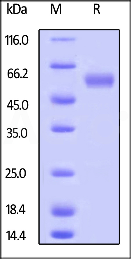 Human LAIR-1, Fc Tag (Cat. No. LA1-H5252) SDS-PAGE gel