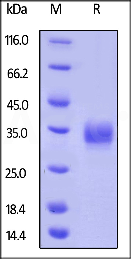 Biotinylated Human LAIR-1, His Tag (Cat. No. LA1-H82E3) SDS-PAGE gel