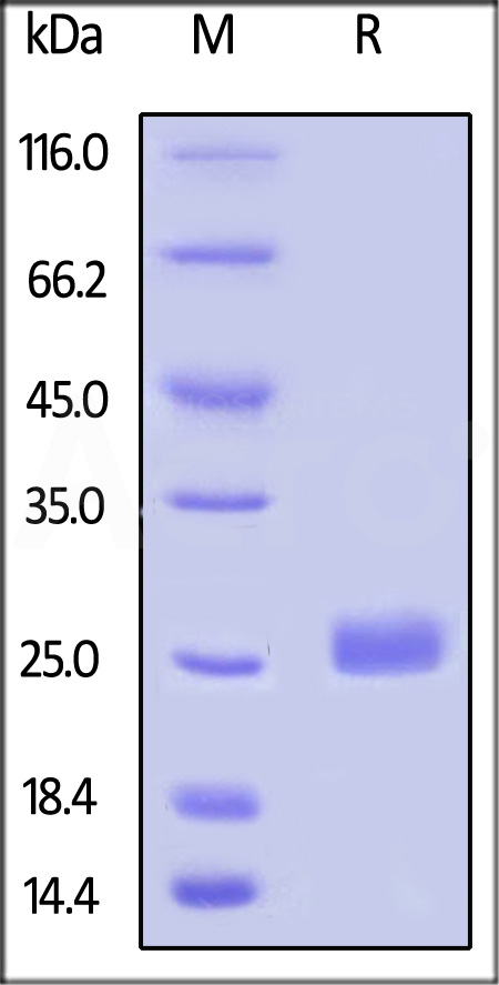 Biotinylated Human LAIR-2, His Tag (Cat. No. LA2-H82E4) SDS-PAGE gel