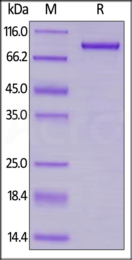 Human LAG-3, Llama IgG2b Fc Tag, low endotoxin (Cat. No. LA3-H525c) SDS-PAGE gel