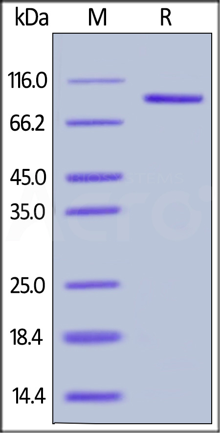 Human LAG-3, Mouse IgG2a Fc Tag (Cat. No. LA3-H52Aa) SDS-PAGE gel