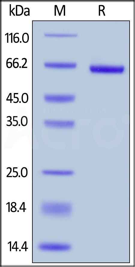 Biotinylated  Human LAG-3, His Tag, Avi Tag (Cat. No. LA3-H82E5) SDS-PAGE gel
