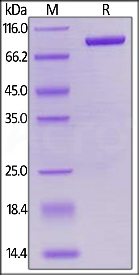Biotinylated Human LAG-3, Mouse IgG2a Fc Tag, Avi Tag (Cat. No. LA3-H82F3) SDS-PAGE gel