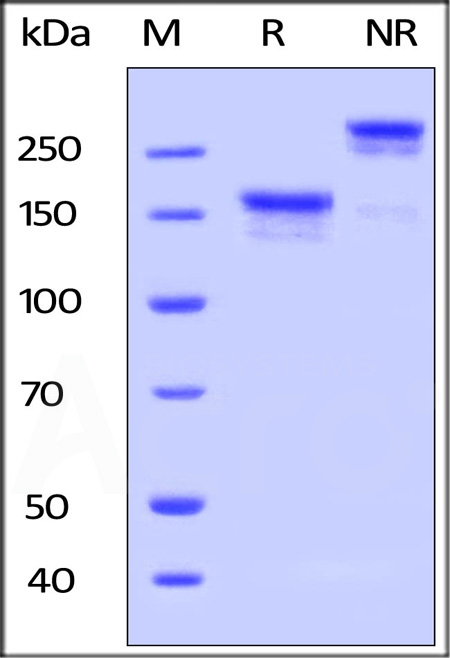 Human LDL R, Fc Tag (Cat. No. LDR-H5254) SDS-PAGE gel