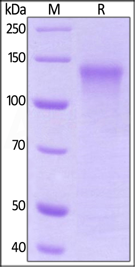 Human LDL R (High Purity), Strep Tag (Cat. No. LDR-H5281) SDS-PAGE gel