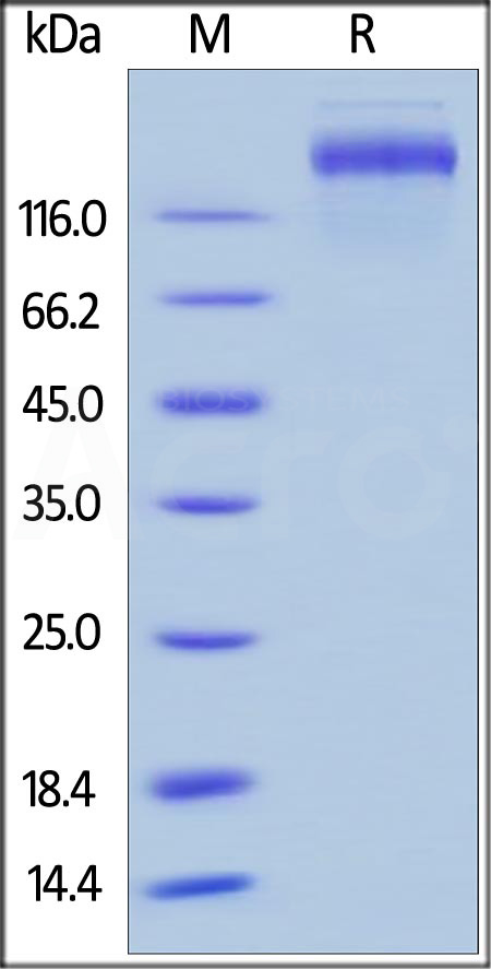 Human Leptin R, Fc Tag (Cat. No. LER-H5252) SDS-PAGE gel
