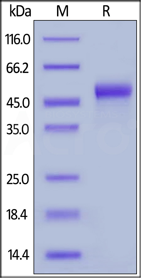 Human Galectin-9, His Tag (Cat. No. LG9-H5244) SDS-PAGE gel