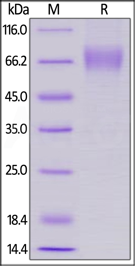 Biotinylated Human LILRA1, His Tag, Avi Tag  (Cat. No. LI1-H82E8) SDS-PAGE gel