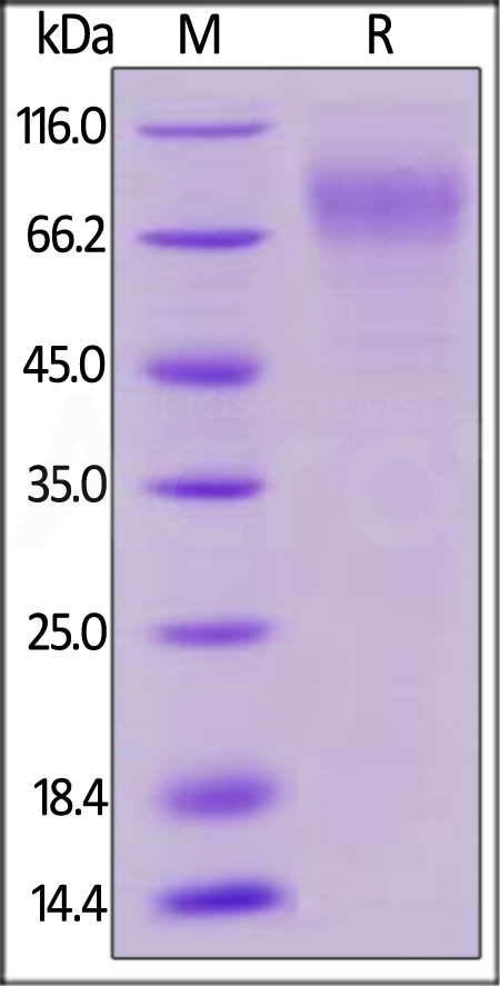 Biotinylated Human LILRA2, His Tag, Avi Tag (Cat. No. LI2-H82E9) SDS-PAGE gel
