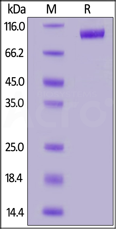 Biotinylated Human LILRB2, Fc Tag (Cat. No. LI2-H82F5) SDS-PAGE gel