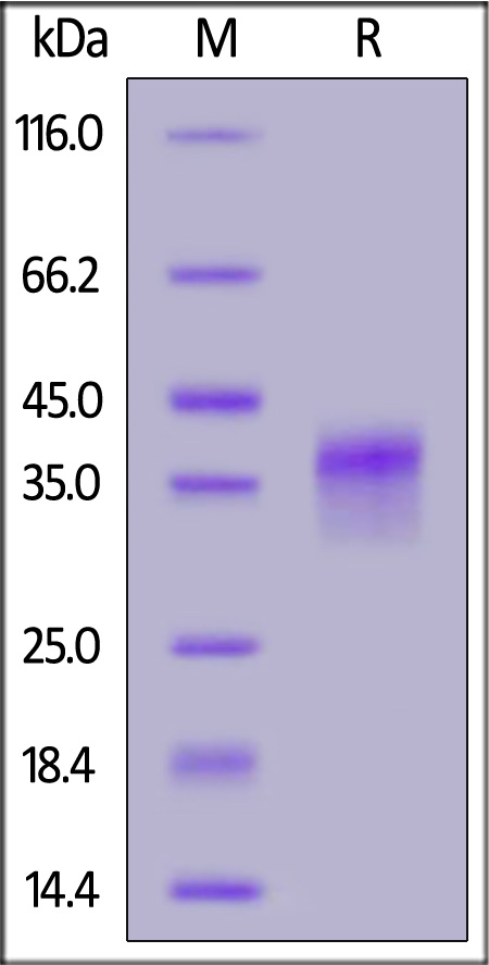 Human LILRB4, His Tag (SPR verified) (Cat. No. LI4-H52H7) SDS-PAGE gel