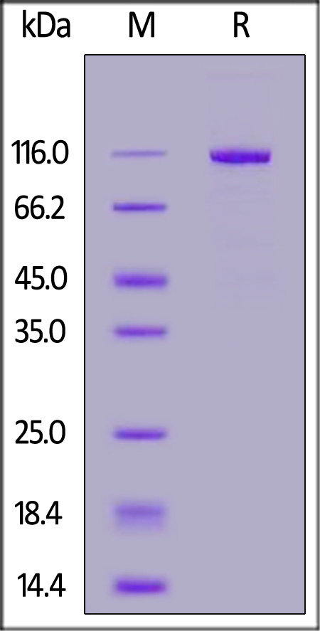Human LRP-5, Mouse IgG2a Fc Tag (Cat. No. LR5-H5254) SDS-PAGE gel