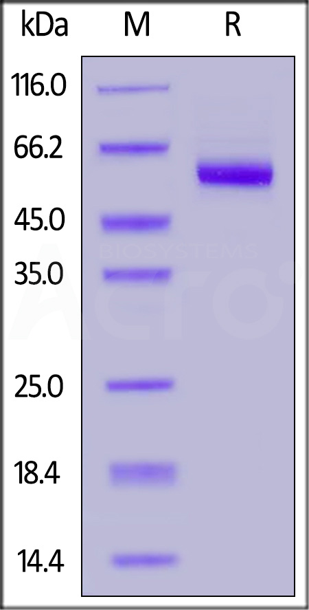 Human LTBR, Fc Tag (Cat. No. LTR-H5251) SDS-PAGE gel