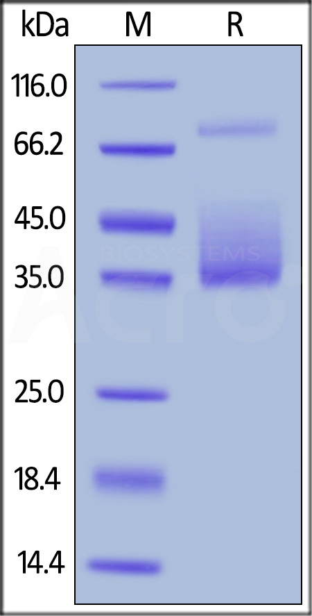 Biotinylated Human M-CSF, His,Avitag (Cat. No. MCF-H82E6) SDS-PAGE gel