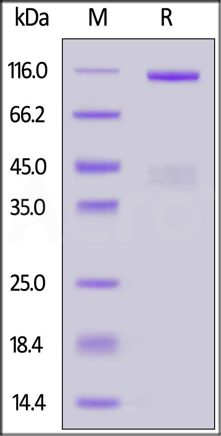 Human HGF R, Fc Tag (Cat. No. MET-H5256) SDS-PAGE gel