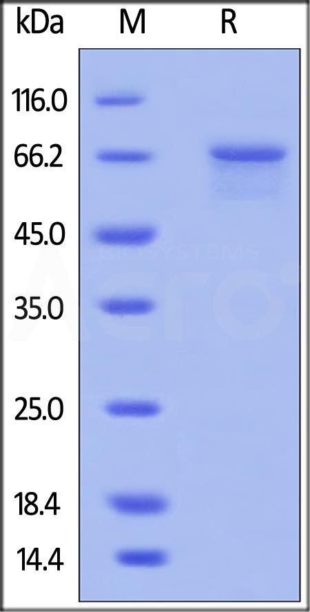 Human MMP-2, His Tag (Cat. No. MM2-H5225) SDS-PAGE gel