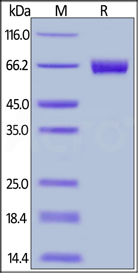 Human Mesothelin (296-580), Fc Tag (Cat. No. MSN-H526x) SDS-PAGE gel