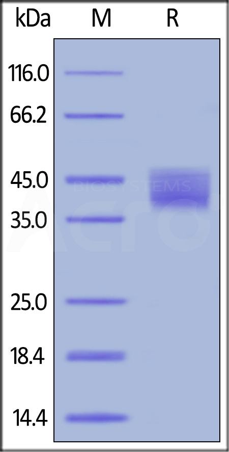 Biotinylated Human Mesothelin (296-580), primary amine labeling (Cat. No. MSN-H8223) SDS-PAGE gel