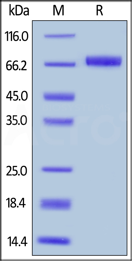 Biotinylated Human Mesothelin, Fc,Avitag (Cat. No. MSN-H82F6) SDS-PAGE gel