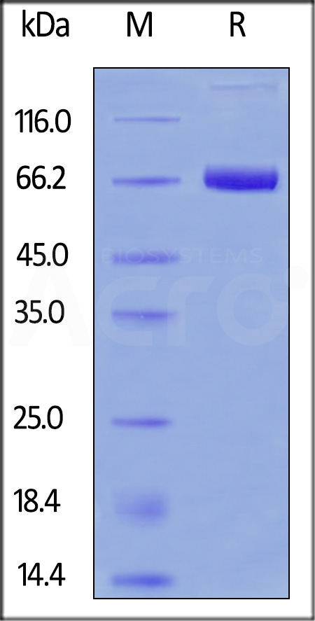 FITC-Labeled Human Mesothelin (296-580), Fc Tag (Cat. No. MSN-HF253) SDS-PAGE gel