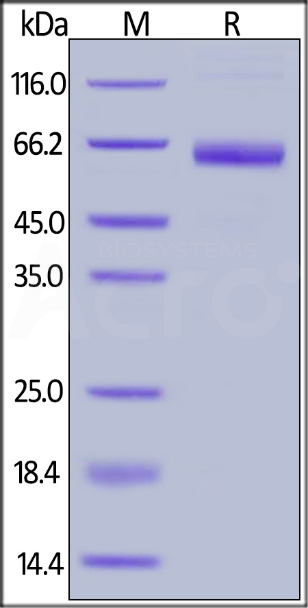 FITC-Labeled Human Mesothelin (296-580), Fc Tag (Cat. No. MSN-HF25x) SDS-PAGE gel