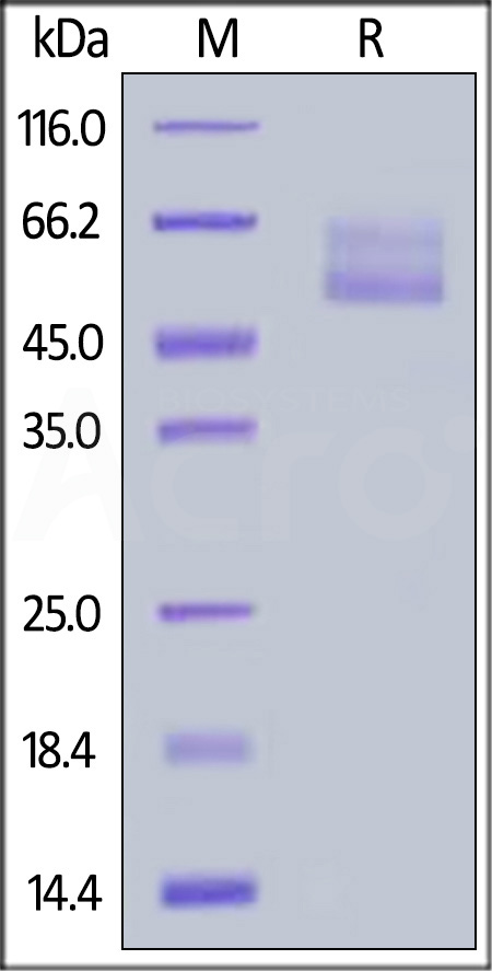 Human Mucin-1, Fc Tag (Cat. No. MU1-H5252) SDS-PAGE gel