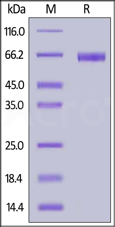Biotinylated Human NKp46, Fc,Avitag (Cat. No. NC1-H82F9) SDS-PAGE gel