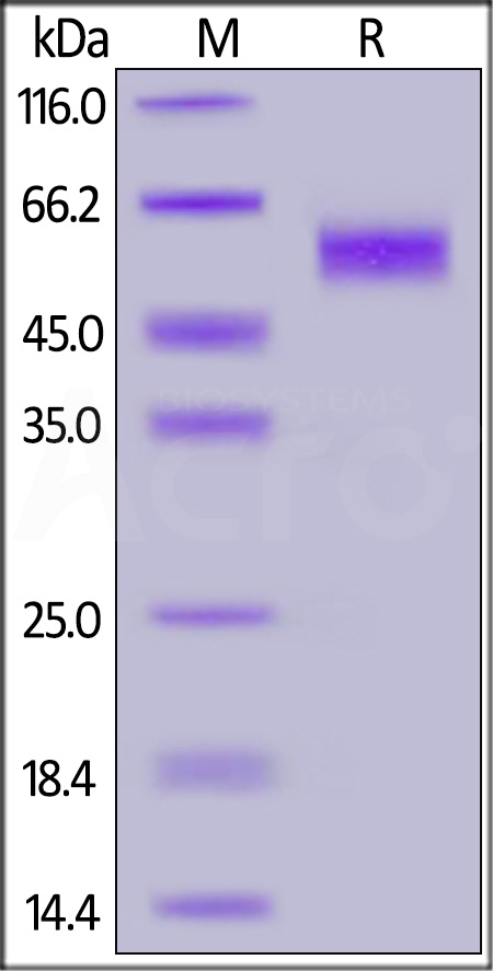 Human NKG2D, Mouse IgG2a Fc Tag (Cat. No. NKD-H5259) SDS-PAGE gel
