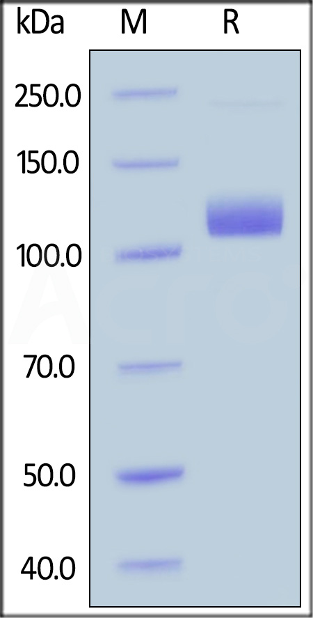Human Neuropilin-1, Fc Tag (Cat. No. NR1-H5252) SDS-PAGE gel