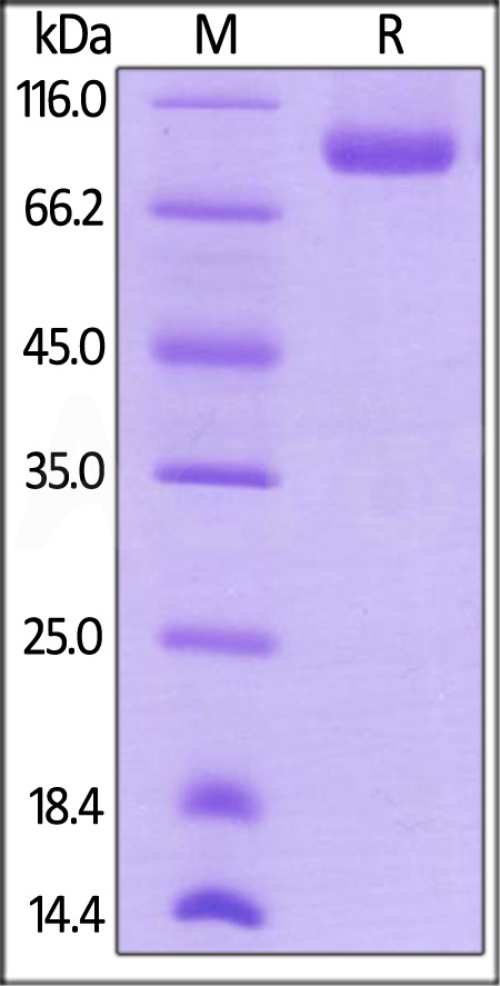 Biotinylated Human NRP1, His Tag (Cat. No. NR1-H82E3) SDS-PAGE gel