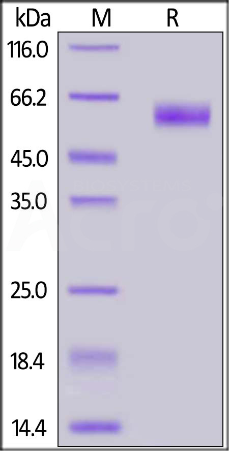 SARS-CoV-2 Nucleocapsid protein, His Tag (Cat. No. NUN-C5227) SDS-PAGE gel