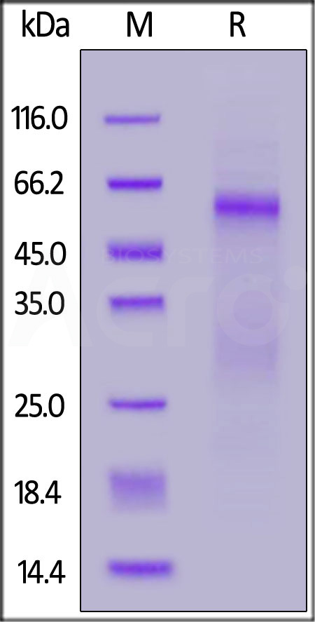 SARS-CoV-2 Nucleocapsid protein, His Tag (Cat. No. NUN-C52H8) SDS-PAGE gel