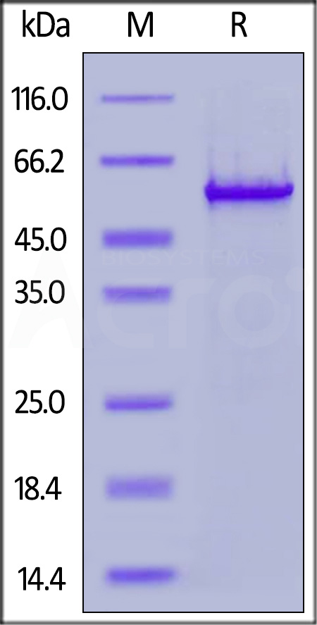 Biotinylated SARS-CoV-2 Nucleocapsid protein, His,Avitag (Cat. No. NUN-C81Q6) SDS-PAGE gel