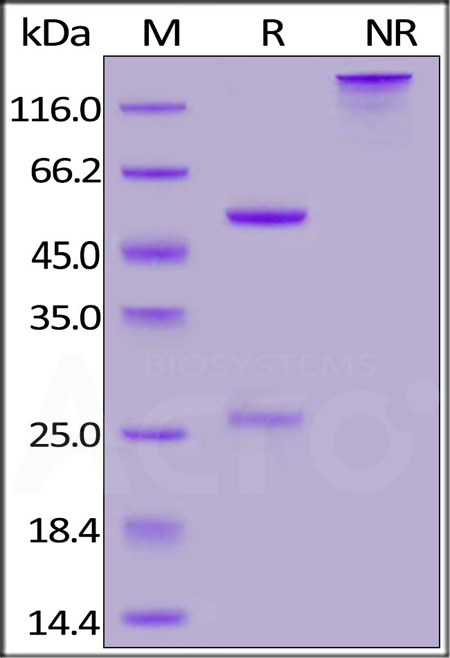 Anti-SARS-CoV-2 Nucleocapsid Antibody, Human IgG1 (Cat. No. NUN-S42) SDS-PAGE gel