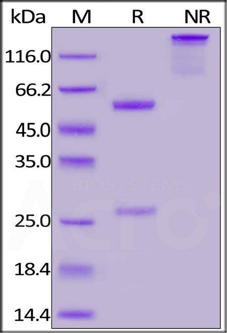 Anti-SARS-CoV-2 Nucleocapsid Antibody, Mouse IgG1 (Cat. No. NUN-S47) SDS-PAGE gel