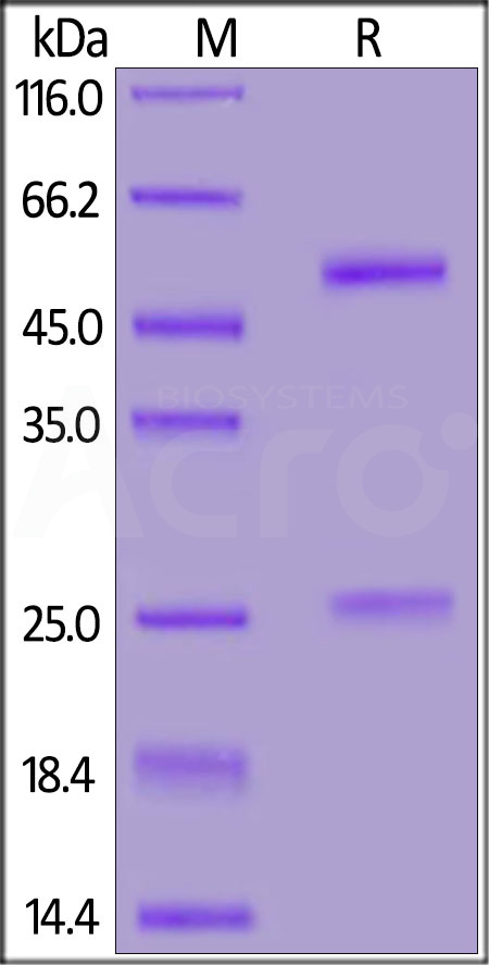 Anti-SARS-CoV-2 Nucleocapsid Antibody, Mouse IgG1 (Cat. No. NUN-S47A1) SDS-PAGE gel