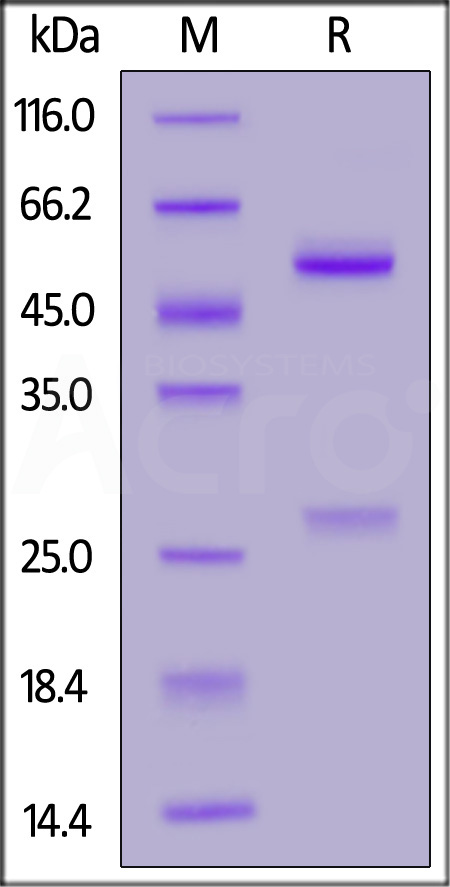 Anti-SARS-CoV-2 Nucleocapsid Antibody, Mouse IgG1 (Cat. No. NUN-S57A1) SDS-PAGE gel