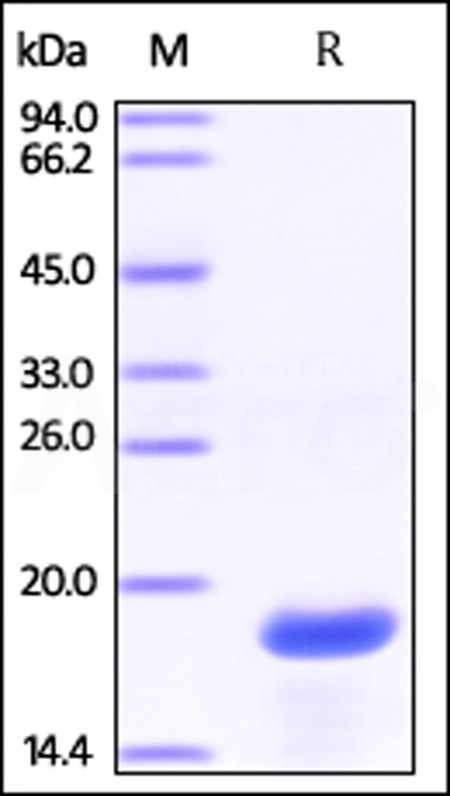 Human Olfactory marker protein, His Tag (Cat. No. OMP-H5145) SDS-PAGE gel