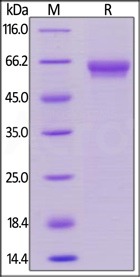 Human OX40, Mouse IgG2a Fc Tag, low endotoxin  (Cat. No. OX0-H5252) SDS-PAGE gel