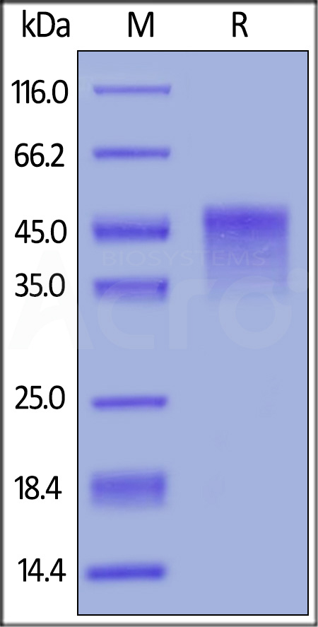 Biotinylated Mouse OX40, His Tag, Avi Tag (Cat. No. OX0-M82E5) SDS-PAGE gel