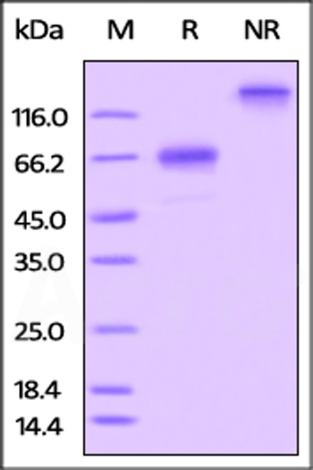 Rat OX40 / TNFRSF4, Fc Tag (Cat. No. OX0-R5253) SDS-PAGE gel
