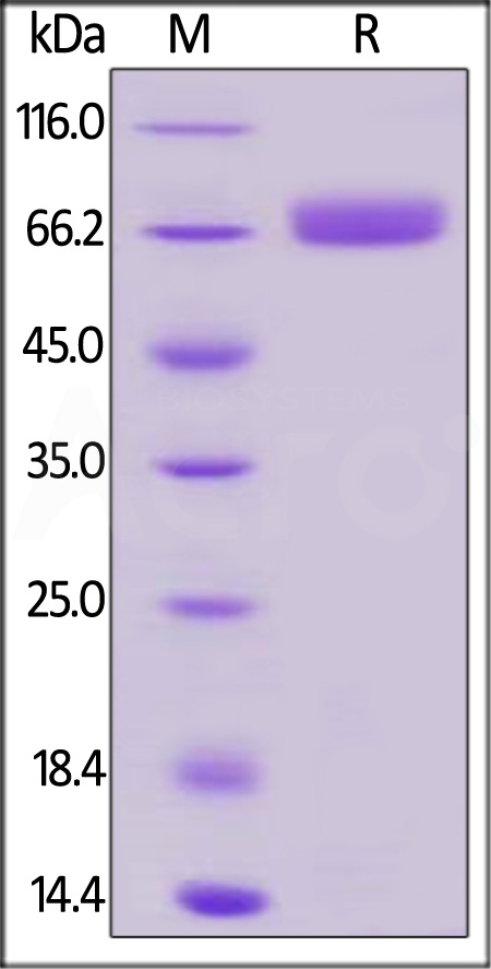 Biotinylated Human CD200, Fc,Avitag (Cat. No. OX2-H82F1) SDS-PAGE gel