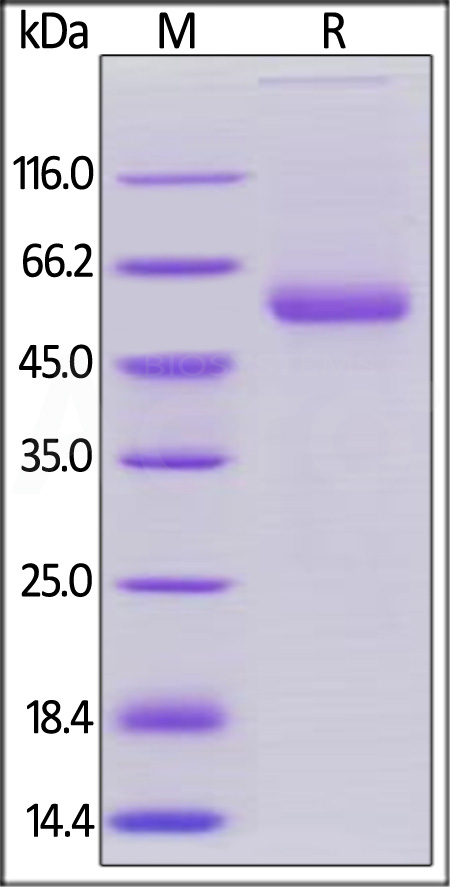 Human OX40 Ligand, Mouse IgG2a Fc Tag, low endotoxin (Cat. No. OXL-H5250) SDS-PAGE gel